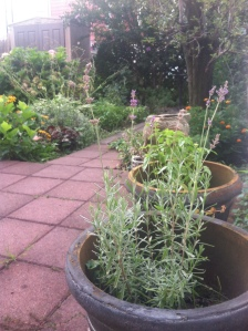 Lavender in my garden, early August, Brooklyn, New York.